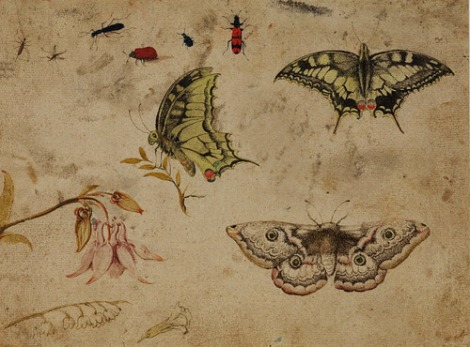 butterflies-columbine-hoef