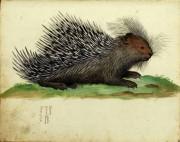 Italian Porcupine