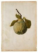 QUINCE - Jacques le Moyne de Morgues (c. 1533–1588)