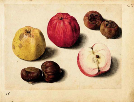 apple medlar nut