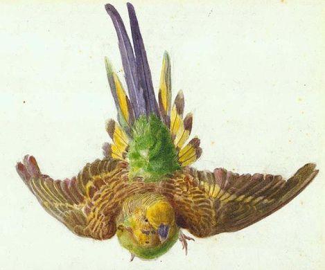 lear parakeet