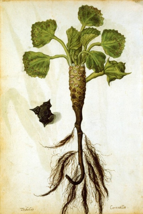 Jacques le Moyne de Morgues (c. 1533–1588) water chestnut