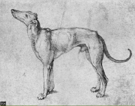 greyhound durer