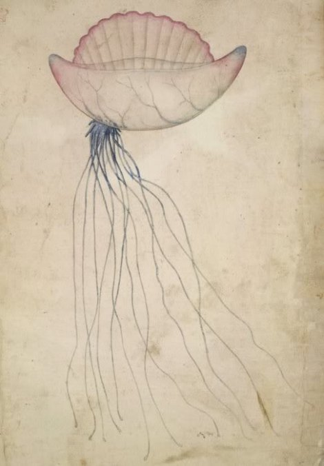 Portuguese Man-O'-War, Watercolor illustrations after John White, 1585-1593