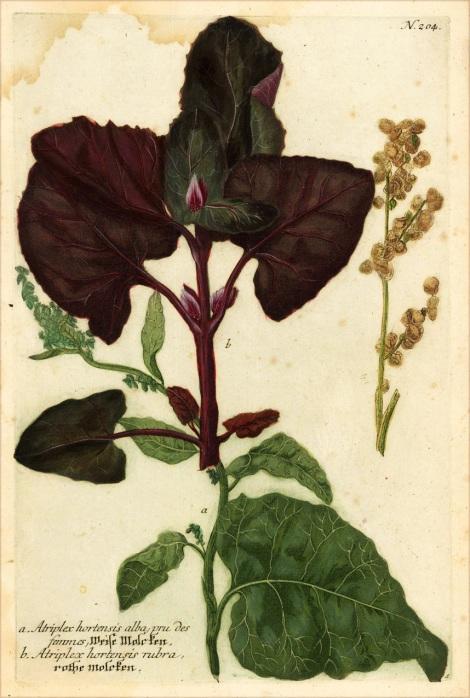 Johann Wilhelm Weinmann (1683-1741), apothecary & botanist