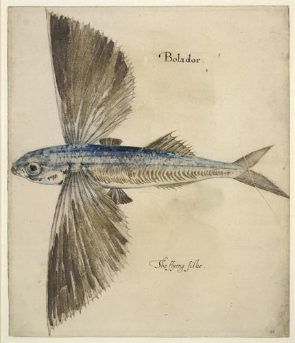 FLYING FISH  John White (c. 1540 – c. 1593)
