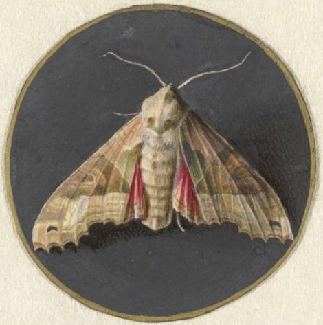 goes moth