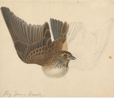 bird sowerby