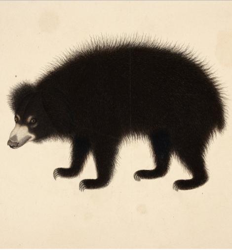 The Sloth-Bear