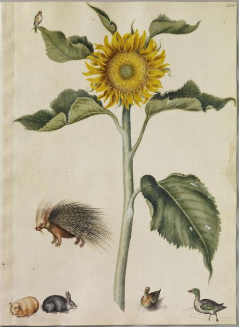 Marshal Sunflower