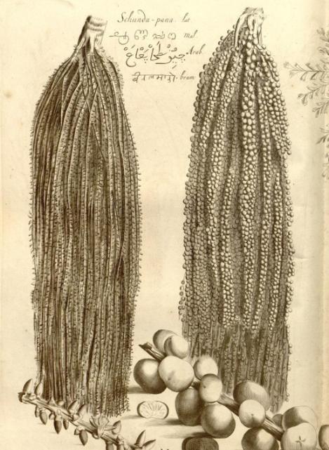 Hortus Malabaricus Palm Berries