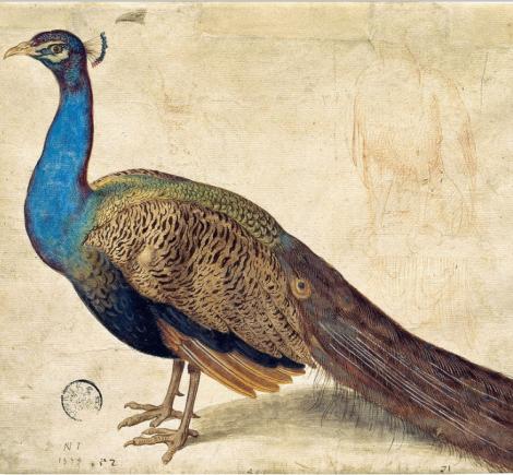 peacock n juvenel