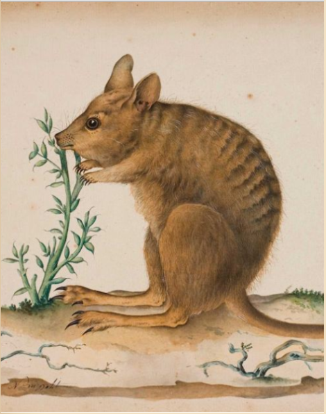 What good is wallaby