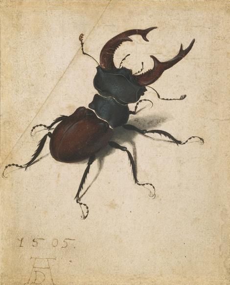 durer stag beetle g