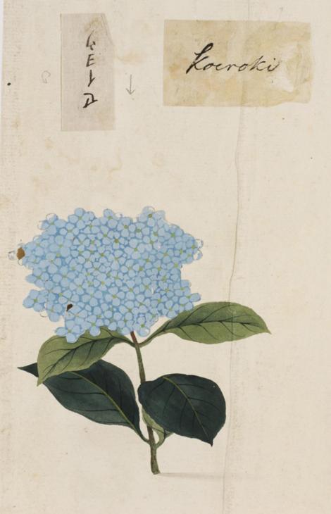 Naturalis_Biodiversity_Center_-_RMNH.ART.803_-_Hydrangea_-_Kawahara_Keiga