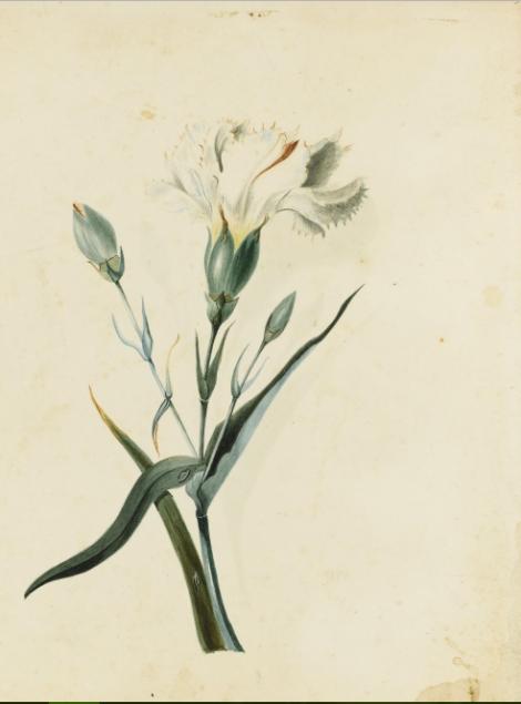 cb-carnation-white