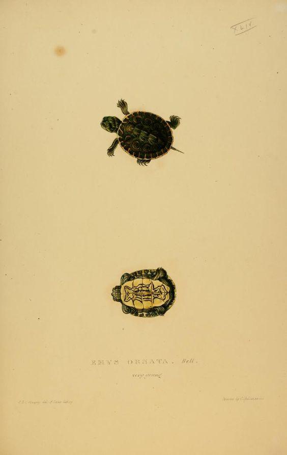 juvenile-ornate-slider-illustrated-by-james-de-carle-sowerby